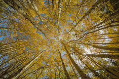 Yellow Aspen Tree Tops Royalty Free Stock Image