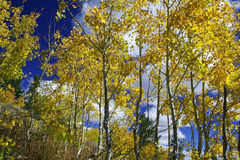 Yellow Aspen Trees Stock Photography