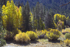 Yellow Aspen Trees. Aspen trees on edge of pine forest in yellow fall colors Stock Photography