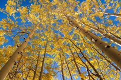 Yellow aspen trees in autumn Stock Photo