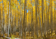 Yellow Aspen Trees Stock Photo