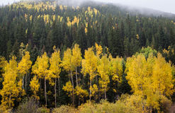 Yellow aspen trees in Colorado mountains Royalty Free Stock Image
