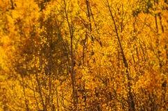Yellow Aspen Trees Stock Photo