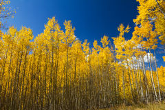 Yellow Aspen Trees in Fall Stock Photography