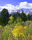 Yellow Aspen Trees in front of Mountains Royalty Free Stock Photography