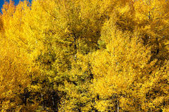 Yellow Aspen Trees Royalty Free Stock Photos