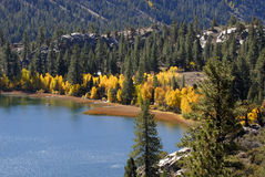 Yellow Aspen Trees on Shorelin. Bright yellow aspen trees on shoreline of mountaini lake in California's Sierra Nevada stock photo