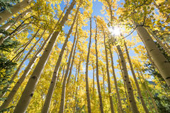 Sun Shining Through Gold Aspen Trees, Fall Foliage Autumn Colors. Standing among tall grove of yellow aspen trees in the autumn. Coconino National Forest stock photos