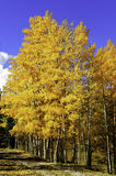 Yellow Aspens. A grove of aspens in fall along a country road Stock Photos