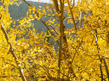 Yellow Aspens Royalty Free Stock Photography