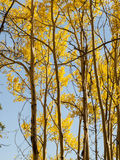 Yellow Aspens Royalty Free Stock Image