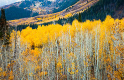 Yellow Aspens. Aspens with bright yellow leaves and long spindly white trunks Royalty Free Stock Photos