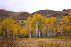 Yellow Aspens in Autumn Stock Photos