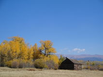 Yellow Aspens and Brown Barn Royalty Free Stock Photography