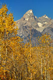 Yellow Aspens and snow capped mountains. Stock Images