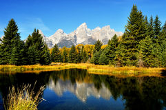 Yellow Aspens and snow capped mountains. Royalty Free Stock Image