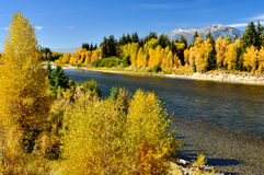 Yellow Aspens and snow capped mountains. Stock Image