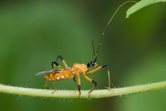 Yellow assassin bug macro Royalty Free Stock Photography