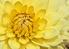 Yellow aster. Bright yellow aster in morning sunlight Stock Photo