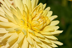Yellow aster. Bright yellow aster in morning sunlight Stock Image