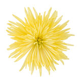 Yellow aster. On a white background Stock Photography