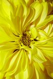 Yellow aster Royalty Free Stock Images