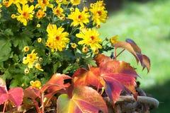 Yellow aster royalty free stock photos