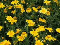 Yellow Aster On Crete In Greece. Yellow aster blooming in late spring on Crete in Greece Stock Photography