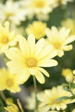Yellow Aster Daisy Royalty Free Stock Image