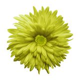 Yellow aster flower isolated on white background with clipping path.  Closeup n. Light yellow aster flower isolated on white background with clipping path Royalty Free Stock Images