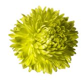 Yellow aster flower isolated on white background with clipping path.  Closeup no shadows. Nature Royalty Free Stock Photography