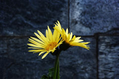 Yellow Aster Stock Photo