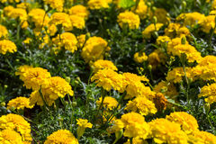 Yellow aster flowers in the garden. As background. Marigold - Tagetes erecta L Royalty Free Stock Photos
