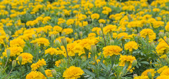 Yellow aster flowers in the garden as background. Marigold Stock Photography