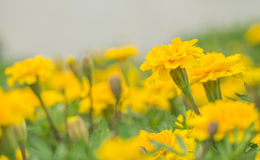 Yellow aster flowers in the garden as background. Marigold - Tagetes erecta L Royalty Free Stock Images