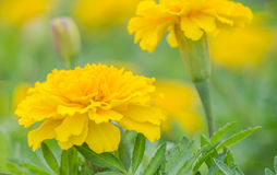 Yellow aster flowers in the garden as background. Marigold - Tagetes erecta L Royalty Free Stock Photography