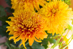 Yellow aster flowers. Aster is a genus of flowering plants in the family Asteraceae Stock Photos