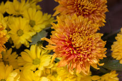 Yellow aster flowers. Aster is a genus of flowering plants in the family Asteraceae Royalty Free Stock Images