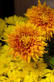 Yellow aster flowers. Aster is a genus of flowering plants in the family Asteraceae Stock Photography