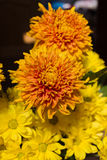 Yellow aster flowers. Aster is a genus of flowering plants in the family Asteraceae Stock Image