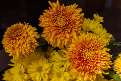Yellow aster flowers. Aster is a genus of flowering plants in the family Asteraceae Royalty Free Stock Photo