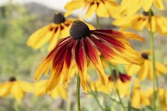 Yellow aster garden flowers Rudbeckia hirta, perennial asteraceae flowers. long petals and dark middle. Yellow aster garden flowers Rudbeckia hirta, perennial stock photo