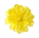 Yellow aster Royalty Free Stock Photos
