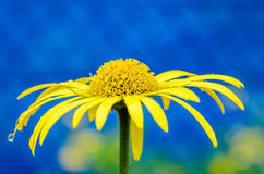 Yellow aster with raindrops. On a blue background Stock Images