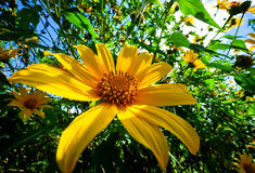 Yellow aster in the sunshine Stock Images