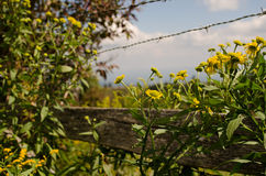 Yellow Asters and Fence Royalty Free Stock Photography