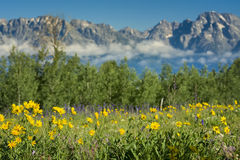 Yellow Asters in the Tetons Stock Photos