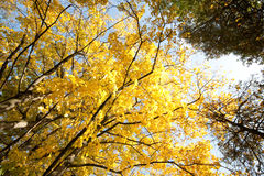 Yellow Autumn Stock Images