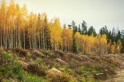 Yellow autumn birch foliage Royalty Free Stock Images
