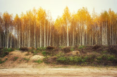 Yellow autumn birch woods Stock Photography